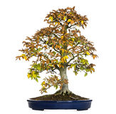 Beech bonsai tree, Fagus, isolated Royalty Free Stock Photography