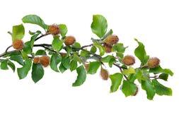 Beech Branch Royalty Free Stock Image
