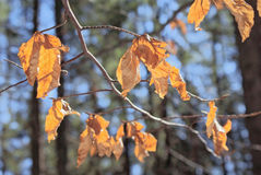 Beech branch with yellow leaves on blurred a trees background and blue sky stock photography