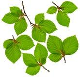 Beech Branches stock photos