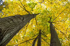 Beech canopy. In autumn time Stock Photo