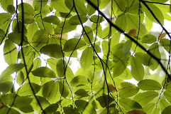 Beech canopy. The backlit leaves of a Euorpean Beech tree Stock Photography