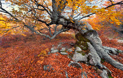 Beech in the colorful autumn forest Stock Photography
