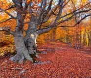 Beech in the colorful autumn forest Royalty Free Stock Image