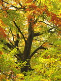 Beech colours Royalty Free Stock Images