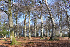 Beech Copse in Winter. With carpet of golden leaves. New Forest national park, Hampshire, England royalty free stock image