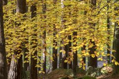 Beech deciduous forest during autumn sunny day, leaves vibrant colors on branches. Leaves detail against sun Royalty Free Stock Photos
