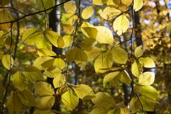 Beech deciduous forest during autumn sunny day, leaves vibrant colors on branches. Leaves detail against sun Royalty Free Stock Photography