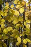 Beech deciduous forest during autumn sunny day, leaves vibrant colors on branches, leaves detail against sun. Woodlands Royalty Free Stock Images