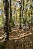 Beech deciduous forest during autumn sunny day, leaves vibrant colors on branches. Magic fall Stock Image
