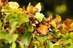 Beech - Fagus-sylvatica Stock Image