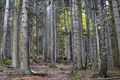 Beech-fir forest in the Caucasus Mountains autum Royalty Free Stock Images