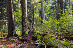 Beech-fir forest reserve Stock Photography
