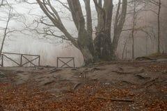 Beech foggy Stock Photo