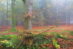 Beech foggy forest in fall Stock Image