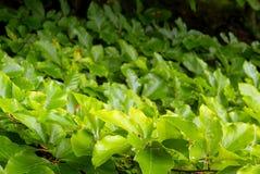 Beech foliage Stock Photo