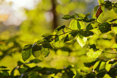 Beech foliage Stock Images