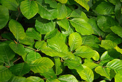 Beech foliage Stock Photos