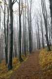 Beech forest. Misty beech forest with path covered by autumn leaves Stock Photos