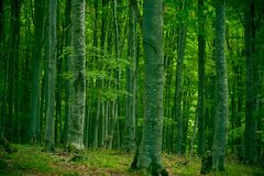 Beech forest. Serene beech forest in september, with a bit chilly atmosphere royalty free stock photography