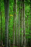 Beech forest. Serene beech forest in september, with a bit chilly atmosphere stock photography