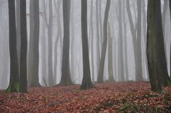 Beech forest Stock Image