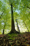 Beech forest. Taken a little from the bottom up of the trunk Stock Image