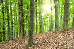 Beech forest Stock Images