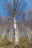 Beech forest. Royalty Free Stock Photography