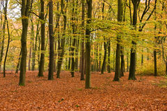 Beech forest. An open beech forest in beautiful autumn colors Royalty Free Stock Photos