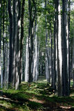 Beech forest royalty free stock images