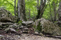 Beech forest in Abruzzo, Italy. Stock Images