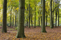 Beech Forest Autum Kaapse Bossen Stock Images