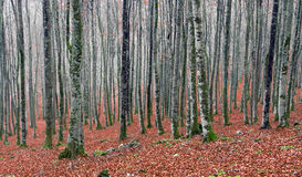 Beech forest in autum Royalty Free Stock Photo