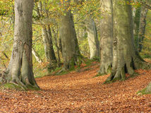 Beech Forest in Autumn. A beech forest with golden leaf litter in autumn Royalty Free Stock Photo