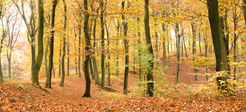 Beech forest in autumn Stock Photos