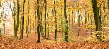 Beech forest in autumn stock photos