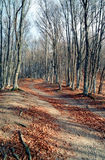 Beech forest at autumn Stock Photos