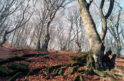 Beech forest at autumn Royalty Free Stock Photography
