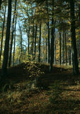 Beech forest in autumn. And wooded landscape Stock Photo
