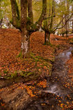 Beech forest in the autumn. A stream going through a beech forest in the autumn Stock Images