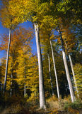 Beech Forest Autumn Stock Images