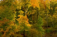 Beech forest in Autumn. German beech forest shining in autumn colors royalty free stock image