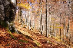 Beech forest. Beech forest in autumn on  Asturias, Spain Royalty Free Stock Images