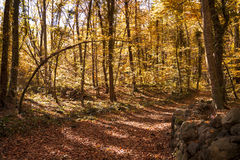 Beech forest in autumn. Beech forest called La Fageda d'en Jordà located in Garrotxa, Catalonia (Spain Royalty Free Stock Photo