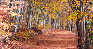 Beech forest in autumn Royalty Free Stock Photography