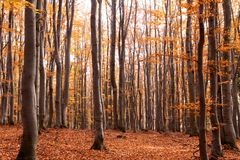 Beech Forest in Autumn, Czech Republic, Europe. Beech trees in autumnal Forest, Hruby Jesenik, Czech Republic, Europe Royalty Free Stock Photos