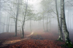 Beech forest in autumn with fog Stock Images
