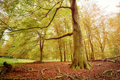 Beech forest in autumn Stock Images