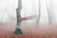 Beech forest in autumn with mist Stock Photo